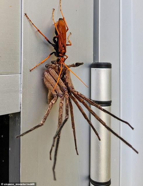 Trận chiến kinh hoàng trong giới côn trùng: Ong bắp cày chạm trán nhện khổng lồ - Ảnh 1.