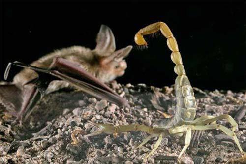 1001 thắc mắc: Vì sao nọc bọ cạp tử thần là chất lỏng đắt nhất hành tinh - Ảnh 2.