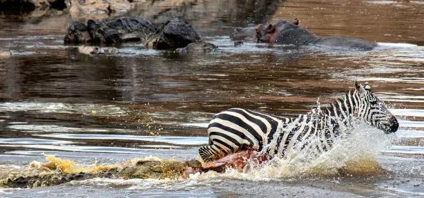 Ngựa vằn bỏ chạy tới gục chết khi bị cá sấu xé toạc - Ảnh 1.
