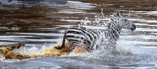 Ngựa vằn bỏ chạy tới gục chết khi bị cá sấu xé toạc - Ảnh 2.