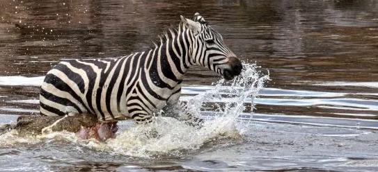 Ngựa vằn bỏ chạy tới gục chết khi bị cá sấu xé toạc - Ảnh 3.