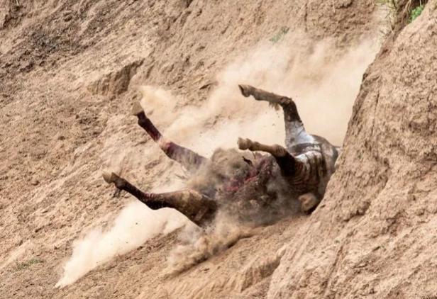 Ngựa vằn bỏ chạy tới gục chết khi bị cá sấu xé toạc - Ảnh 5.