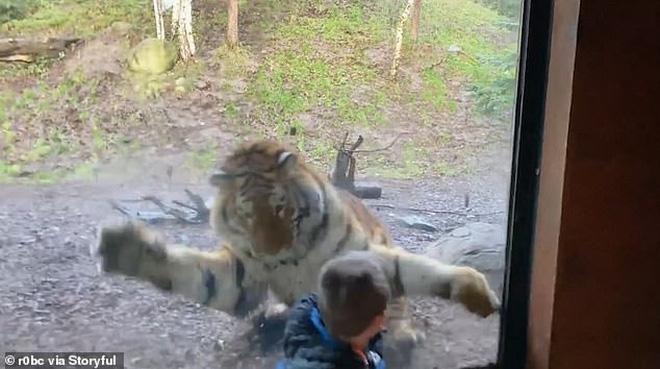 Đứng tim trước khoảnh khắc con hổ ở sở thú bất ngờ lao tới cố gắng vồ lấy cậu bé như đang săn mồi - Ảnh 5.