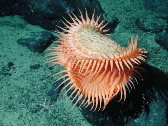 """Những sinh vật """"độc nhất vô nhị"""" dưới đáy đại dương - Ảnh 14."""