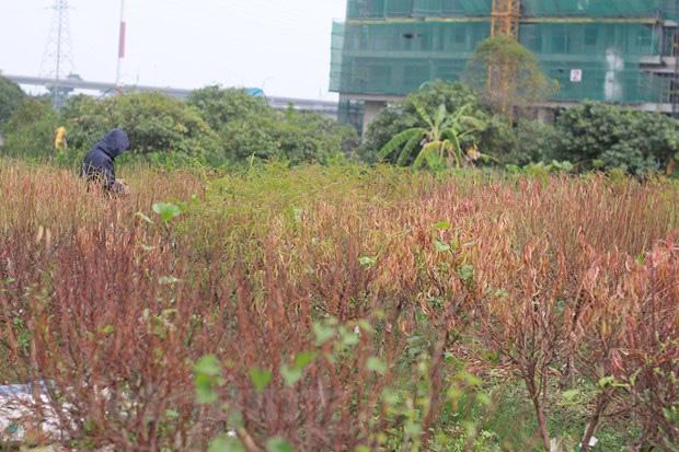 Hà Nội: Người dân khóc ròng vì hàng nghìn gốc đào chết khô - Ảnh 2.