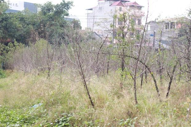 Hà Nội: Người dân khóc ròng vì hàng nghìn gốc đào chết khô - Ảnh 3.