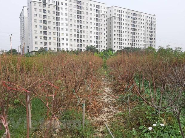 Hà Nội: Người dân khóc ròng vì hàng nghìn gốc đào chết khô - Ảnh 4.