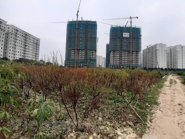 Hà Nội: Người dân khóc ròng vì hàng nghìn gốc đào chết khô - Ảnh 5.