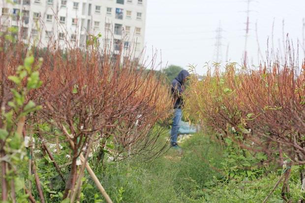 Hà Nội: Người dân khóc ròng vì hàng nghìn gốc đào chết khô - Ảnh 6.