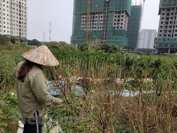 Hà Nội: Người dân khóc ròng vì hàng nghìn gốc đào chết khô - Ảnh 7.