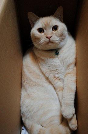 Khoa học giải thích: Tại sao lũ mèo thích hộp? - Ảnh 2.