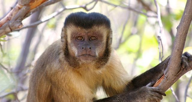 Khỉ Capuchin đã âm thầm bước vào thời kỳ đồ đá, chúng sẽ thay thế con người để thống trị trái đất? - Ảnh 3.