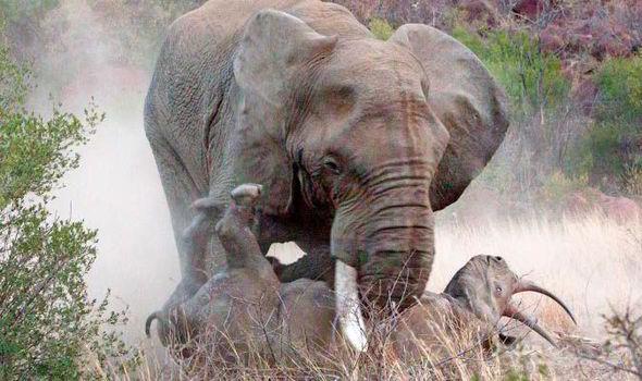 Voi khổng lồ nổi khùng, điên cuồng tấn công mẹ con tê giác: Lý do vì sao? - Ảnh 1.