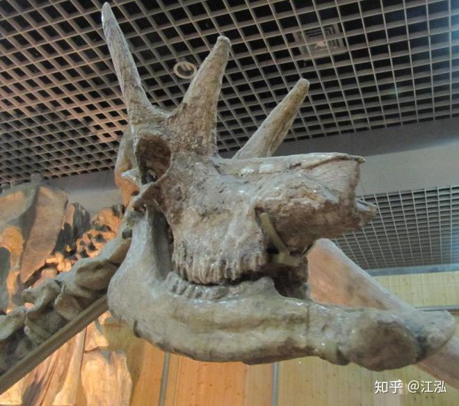 Phát hiện mới, Trung Quốc cũng đã từng tồn tại loài hươu cao cổ với cái đầu vô cùng kì dị - Ảnh 3.