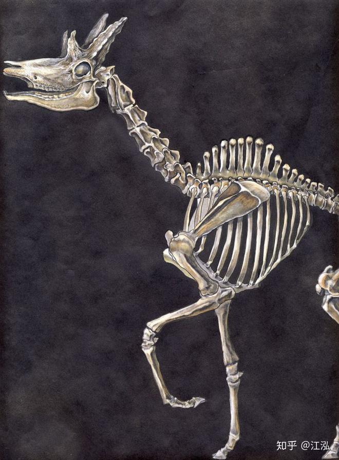 Phát hiện mới, Trung Quốc cũng đã từng tồn tại loài hươu cao cổ với cái đầu vô cùng kì dị - Ảnh 7.