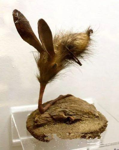 Nosewalkers - loài động vật kì lạ nhất Trái Đất, dù có chân nhưng lại dùng mũi để di chuyển - Ảnh 1.