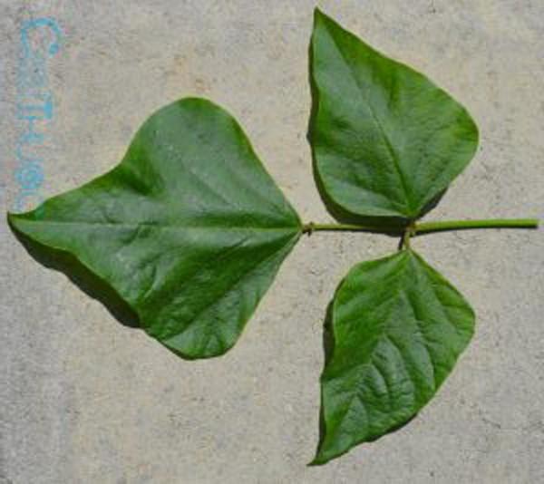 Mỗi cây chữa một bệnh - Ảnh 2.