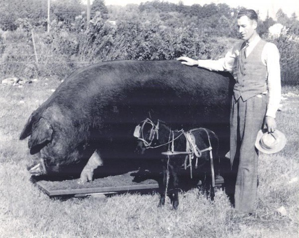 Những kỷ lục khó đỡ được ghi vào sách Guinness của họ nhà lợn mà đảm bảo rất ít người được nghe - Ảnh 1.