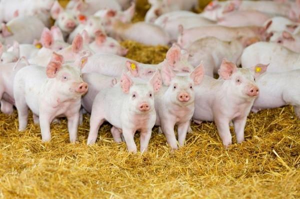 Những kỷ lục khó đỡ được ghi vào sách Guinness của họ nhà lợn mà đảm bảo rất ít người được nghe - Ảnh 6.