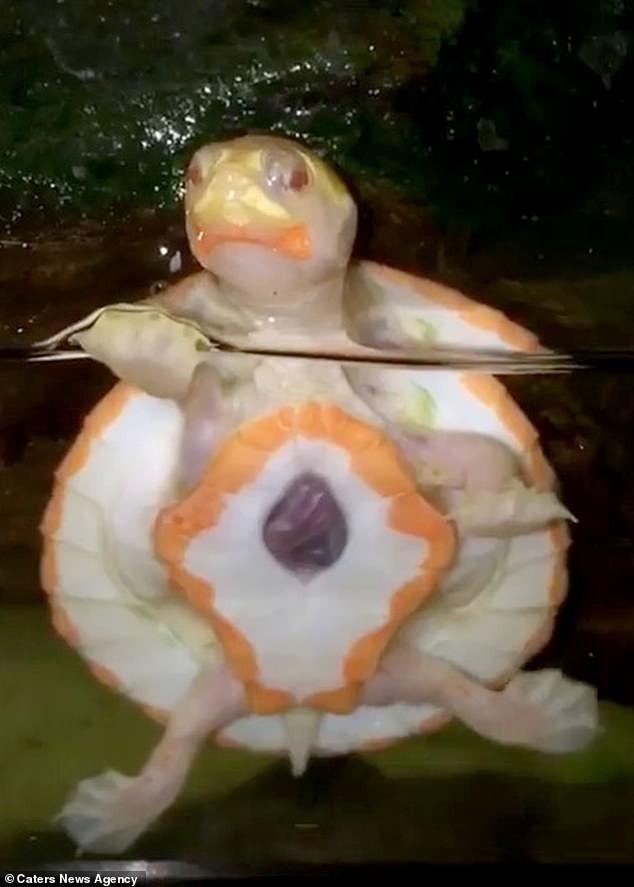 Tim ở bên ngoài lồng ngực: Chú rùa bạch tạng bất hạnh vẫn sống sót kỳ diệu - Ảnh 2.