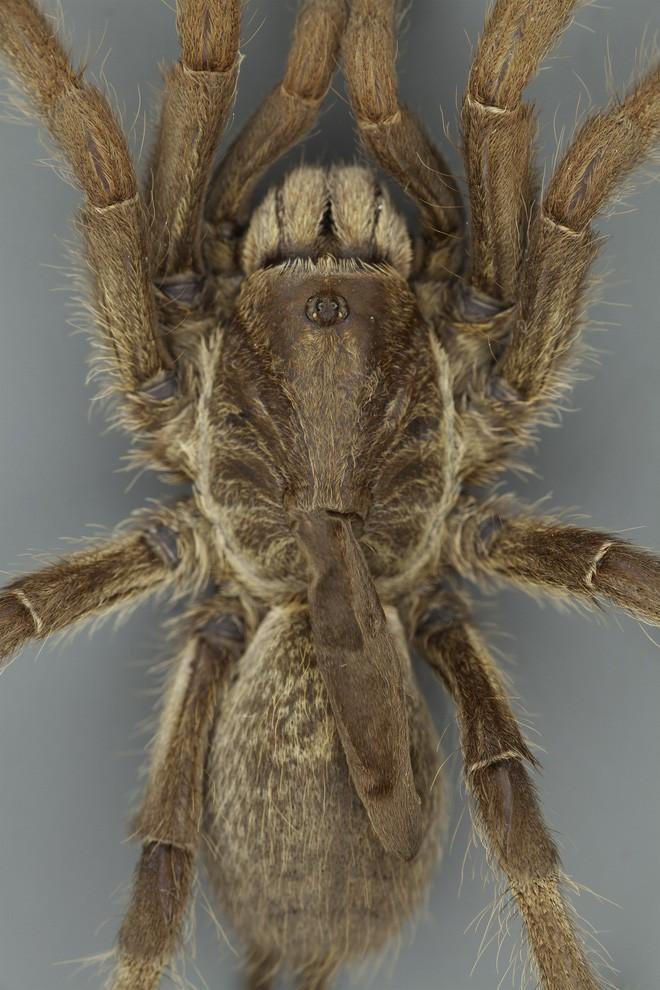 Phát hiện ra một giống nhện mới đã lông lá lại còn có sừng tại Nam Phi - Ảnh 1.