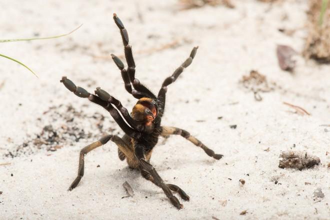 Phát hiện ra một giống nhện mới đã lông lá lại còn có sừng tại Nam Phi - Ảnh 2.