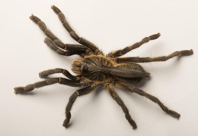 Phát hiện ra một giống nhện mới đã lông lá lại còn có sừng tại Nam Phi - Ảnh 4.