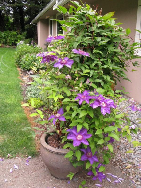 Những mẹo nhỏ giúp cây hoa ông lão trở thành điểm nhấn duyên dáng đặc biệt cho khu vườn - Ảnh 1.