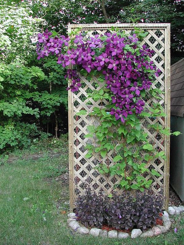 Những mẹo nhỏ giúp cây hoa ông lão trở thành điểm nhấn duyên dáng đặc biệt cho khu vườn - Ảnh 3.