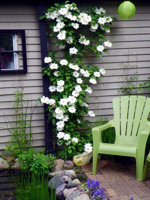 Những mẹo nhỏ giúp cây hoa ông lão trở thành điểm nhấn duyên dáng đặc biệt cho khu vườn - Ảnh 7.