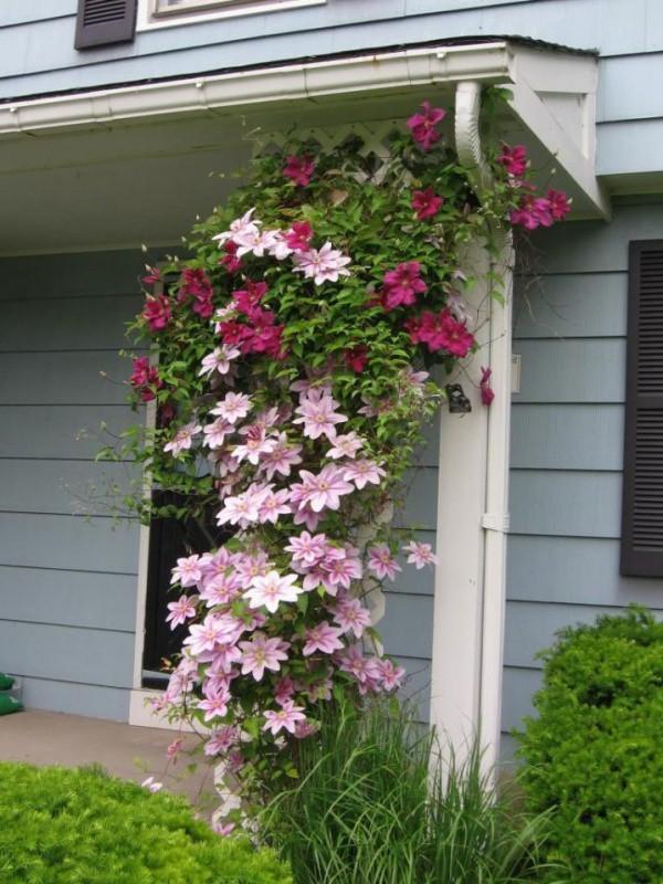 Những mẹo nhỏ giúp cây hoa ông lão trở thành điểm nhấn duyên dáng đặc biệt cho khu vườn - Ảnh 8.