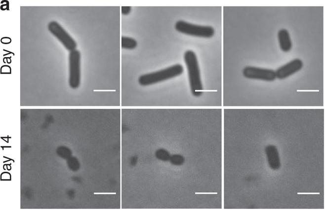 Lần đầu tiên các nhà khoa học phát hiện những con vi khuẩn zombie - Ảnh 4.