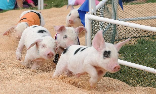 Những phong tục lạ nhất về lợn trên thế giới, Việt Nam cũng vinh dự góp mặt - Ảnh 1.