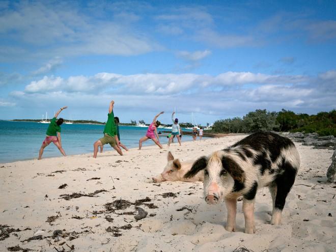 Những phong tục lạ nhất về lợn trên thế giới, Việt Nam cũng vinh dự góp mặt - Ảnh 3.