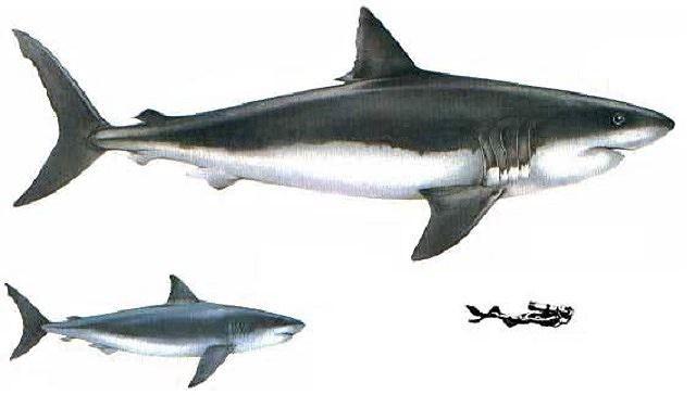 Bí ẩn loài cá mập khổng lồ thời tiền sử - Ảnh 2.