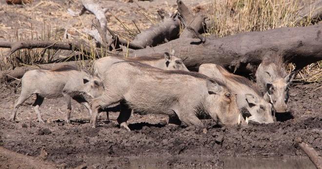 Nhân năm Kỷ Hợi tìm hiểu loài lợn cực thú vị: Mang ngà như voi, lại có đến 4 cái - Ảnh 4.