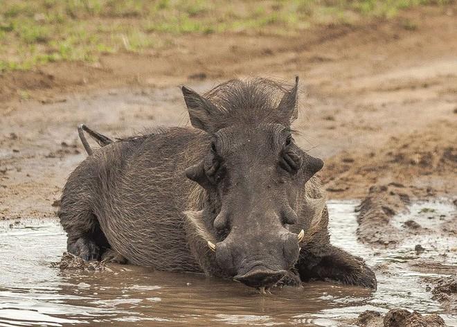 Nhân năm Kỷ Hợi tìm hiểu loài lợn cực thú vị: Mang ngà như voi, lại có đến 4 cái - Ảnh 10.
