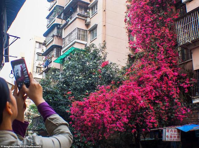 Choáng ngợp cây hoa giấy khổng lồ gần 30 tuổi chảy dài như thác nước phủ kín tòa nhà 9 tầng, trở thành tâm điểm hút khách du lịch - Ảnh 2.