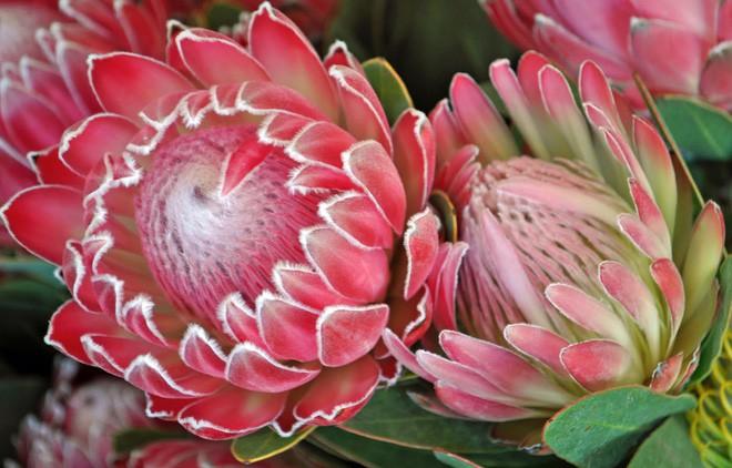"""Kinh ngạc trước """"Vương quốc Hoa"""" phải bị cháy rừng thì mới sống được của Nam Phi: Giàu thực vật gấp 3 lần Amazon ẩm ướt - Ảnh 12."""