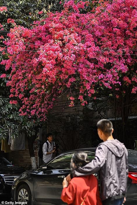 Choáng ngợp cây hoa giấy khổng lồ gần 30 tuổi chảy dài như thác nước phủ kín tòa nhà 9 tầng, trở thành tâm điểm hút khách du lịch - Ảnh 6.