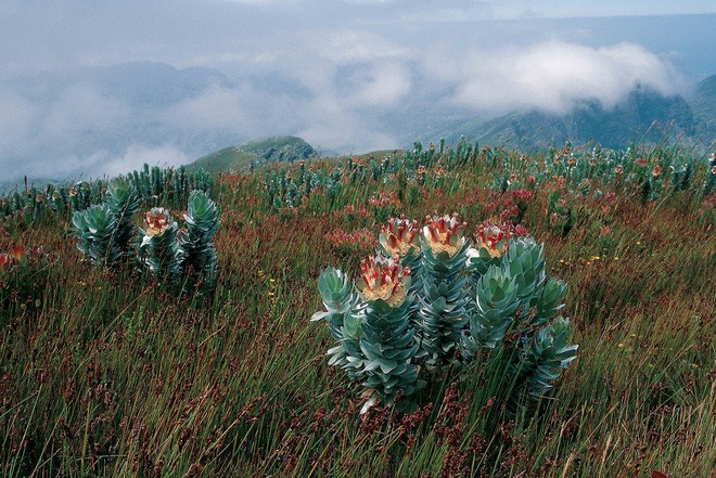 """Kinh ngạc trước """"Vương quốc Hoa"""" phải bị cháy rừng thì mới sống được của Nam Phi: Giàu thực vật gấp 3 lần Amazon ẩm ướt - Ảnh 6."""