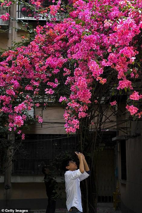 Choáng ngợp cây hoa giấy khổng lồ gần 30 tuổi chảy dài như thác nước phủ kín tòa nhà 9 tầng, trở thành tâm điểm hút khách du lịch - Ảnh 7.