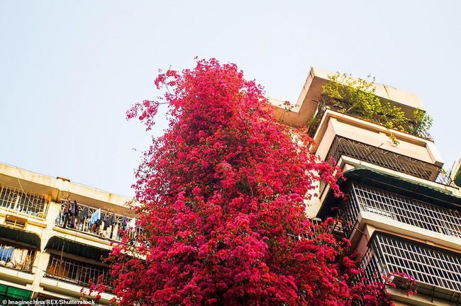 Choáng ngợp cây hoa giấy khổng lồ gần 30 tuổi chảy dài như thác nước phủ kín tòa nhà 9 tầng, trở thành tâm điểm hút khách du lịch - Ảnh 8.