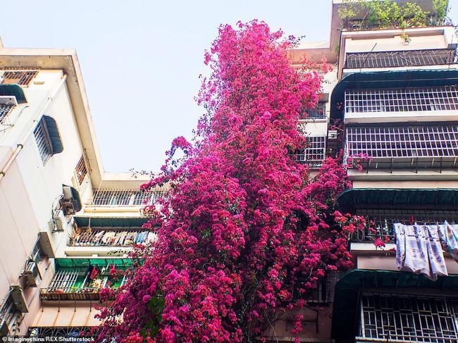Choáng ngợp cây hoa giấy khổng lồ gần 30 tuổi chảy dài như thác nước phủ kín tòa nhà 9 tầng, trở thành tâm điểm hút khách du lịch - Ảnh 9.