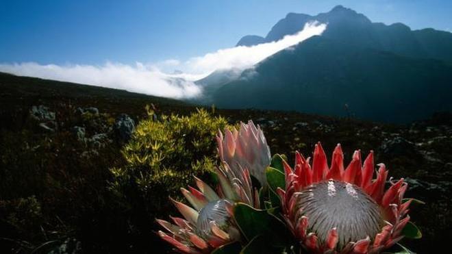 """Kinh ngạc trước """"Vương quốc Hoa"""" phải bị cháy rừng thì mới sống được của Nam Phi: Giàu thực vật gấp 3 lần Amazon ẩm ướt - Ảnh 11."""