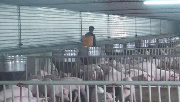Đàn lợn hàng chục con bất ngờ chết, phát hiện ổ dịch tả lợn châu Phi tại Nghệ An - Ảnh 1.