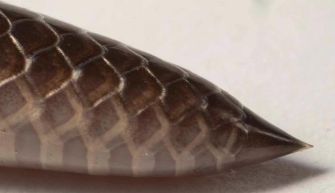 Loài rắn kỳ dị nhất hành tinh: Cắn người không cần há miệng, nọc hủy hoại mô nghiêm trọng - Ảnh 7.