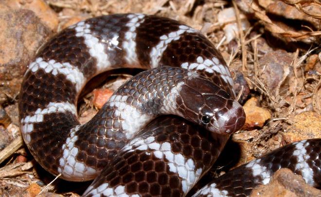 Loài rắn kỳ dị nhất hành tinh: Cắn người không cần há miệng, nọc hủy hoại mô nghiêm trọng - Ảnh 9.