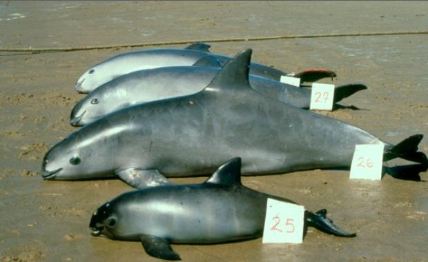 Loài cá heo nhỏ bé quý hiếm nhất hành tinh, cả Trái Đất chỉ còn lại chưa đến 10 con - Ảnh 3.