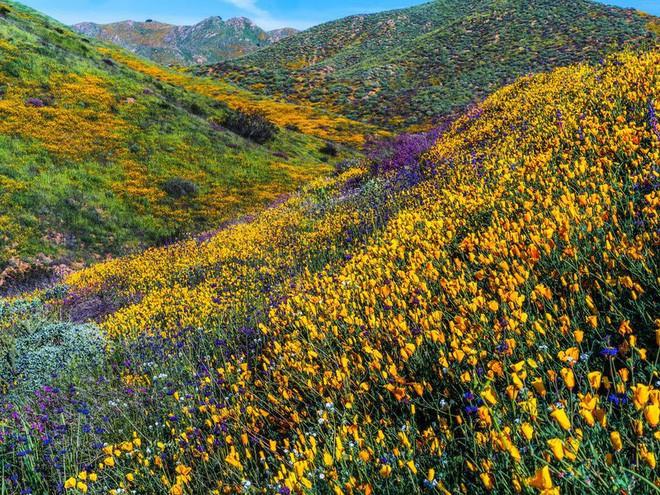 Choáng ngợp trước hiện tượng hoa siêu bung nở cực hiếm gặp, khiến cả sa mạc như sống dậy - Ảnh 12.